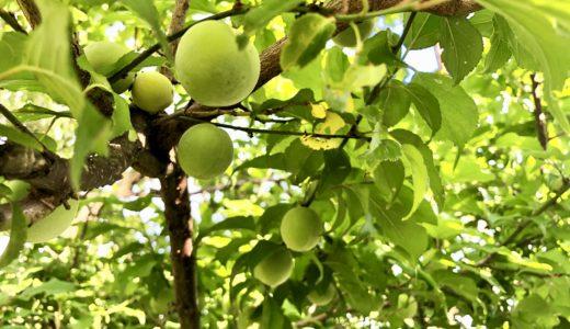 梅の木がつなぐ、人の縁